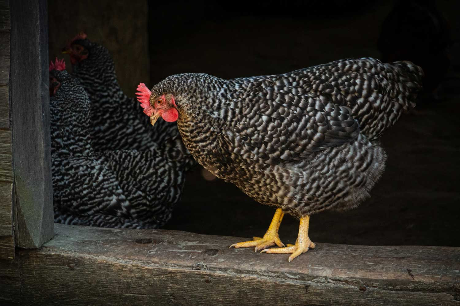 A heritage breed chicken stands to welcome guests at the main house door