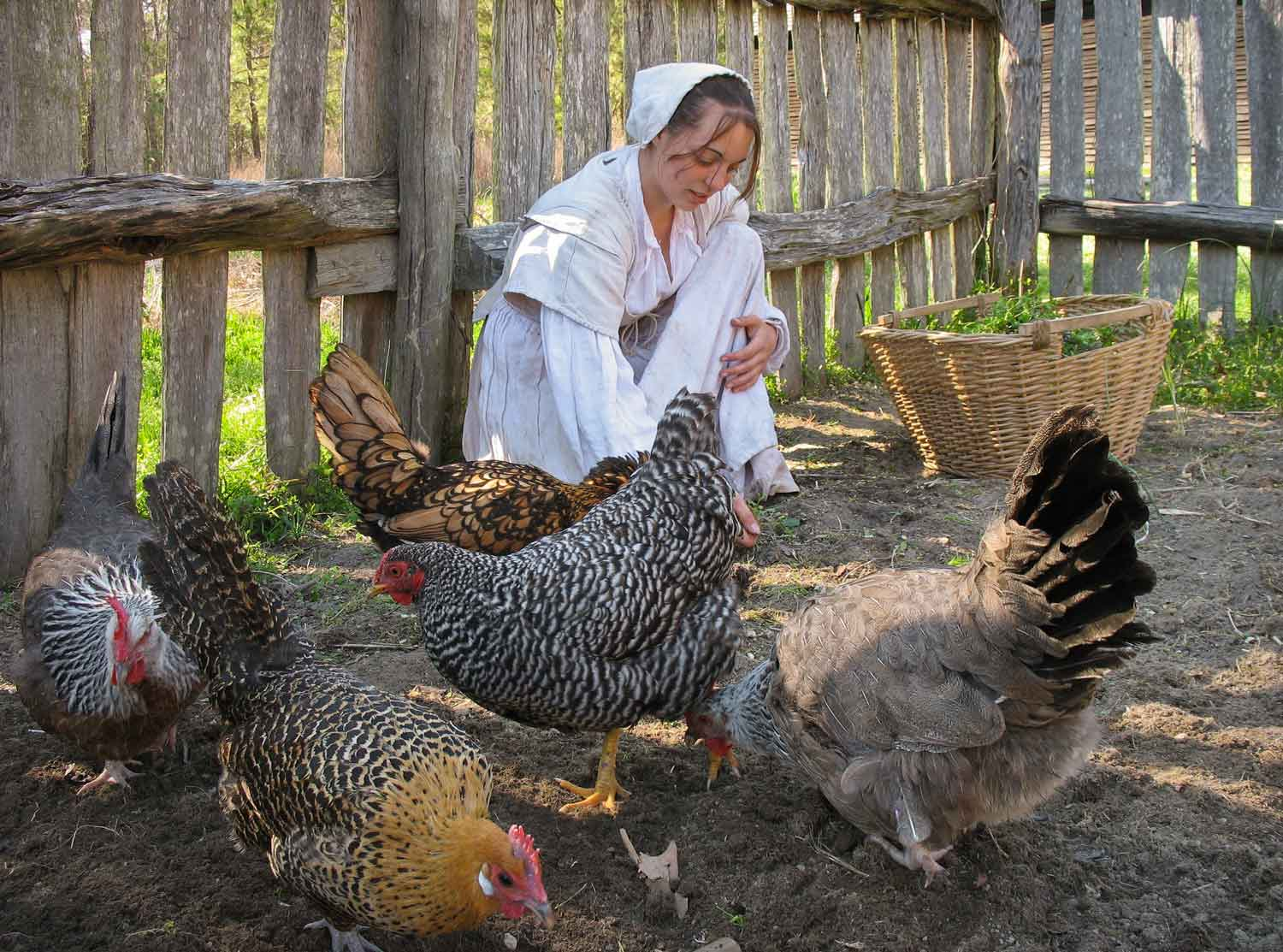 Heritage breed chickens wander freely at the plantation